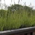 Lavendel dakplanten op het dakterras